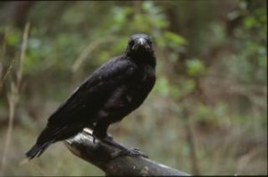 black-crow--closeup_19-111966